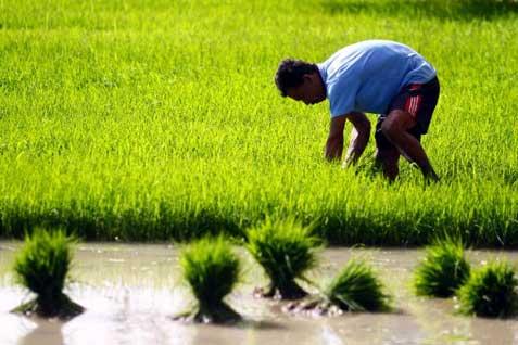 OPTIMALISASI PERTANIAN SUMSEL  : BUMD Agribisnis Dipastikan Terealisasi