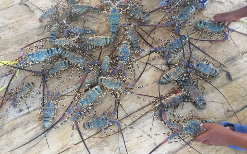 PERIKANAN BUDI DAYA : Bank NTB Syariah Danai Petani Lobster