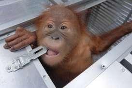 Yayasan Bos Siap Merawat Orangutan Sitaan Bandara Ngurah Rai