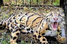 Macan Berkeliaran di Sekitar Permukiman, Warga Gunungkidul Geger