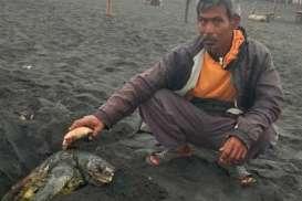 Penyu Sepanjang 1 Meter Terdampar dan Mati di Pantai Kulonprogo
