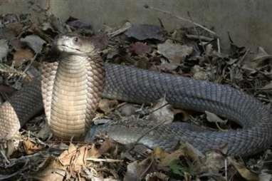 Warga Gunungkidul Diresahkan Kemunculan Belasan Anak Ular Kobra, Induknya tak Ditemukan