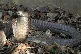 Anak Ular Kobra Teror Permukiman, Ini Penjelasan Pakar UGM