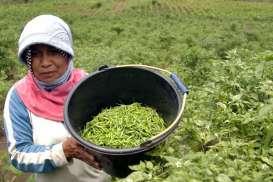 STOK MELIMPAH : Panen Cabai Jatim Kurang Terserap Pasar