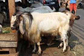Harga Hewan Ternak di Sumedang Perlahan Naik Jelang Iduladha