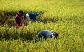 Sektor Pertanian Dominasi Serapan KUR di Sumsel