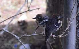 Dilepas-liarkan, Burung Anis Kembang Punya Habitat di TWA Ruteng