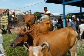 Pemprov Malut Siapkan 50 Sapi Kurban untuk 10 Kabupate-Kota