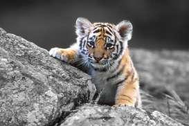 Kabar Baik, Anak Harimau Sumatra Lahir di Kebun Binatang Polandia