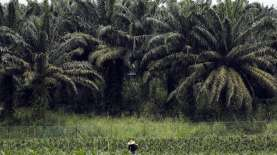 Petani Sawit Riau Mendapat Dana Peremajaan Sawit Rp720 Juta