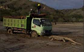 #SaveKomodo: Viral Foto Komodo Hadang Truk, BTNK Tutup Pulau Rinca