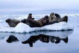 Ribuan Anjing Laut Mati dan Keguguran di Pembiakan Namibia