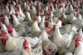 Banjir Impor Ayam dari Brasil, Proteksi Pasar Domestik Mutlak Dilakukan