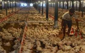 Jaga Harga Ayam Tetap Stabil, Perusahaan Unggas Serap 25,8 Juta Ekor
