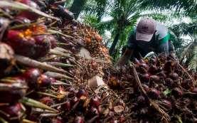 Kelapa Sawit Malaysia Terpukul Banjir dan Kekurangan Tenaga Kerja