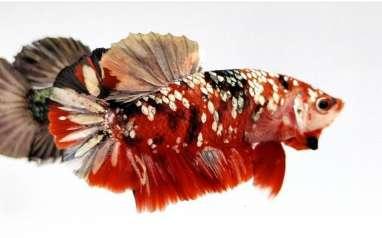 Trik Sukses Berbisnis Ikan Cupang