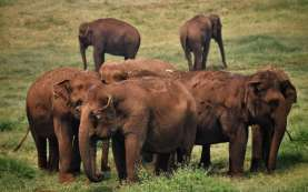 Kasihan, Ternyata Penyebab Gajah Mati di Aceh Akibat Infeksi Terjerat Tali Sling