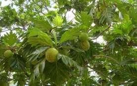 Tahukah Anda? Akar Pohon Sukun Mampu Mencegah Longsor dan Banjir