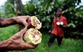 Alhamdulillah, Produksi Kakao Mulai Naik