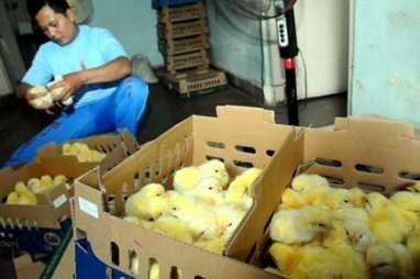 Peternak Ayam di Jatim Sebut Dua Faktor Pemicu Kenaikan Daging