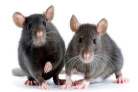 Wabah Tikus Serang Australia, Ratusan Napi Diungsikan