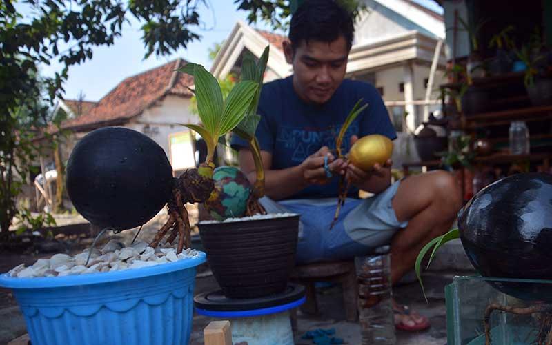 Pembuatan Pohon Bonsai Kelapa Bisnis Com