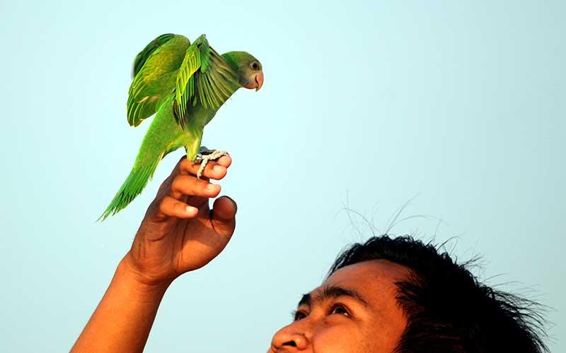 Pecinta Burung Paruh Bengkok Melatih Burungnya Terbang di Tengah Pandemi Covid-19