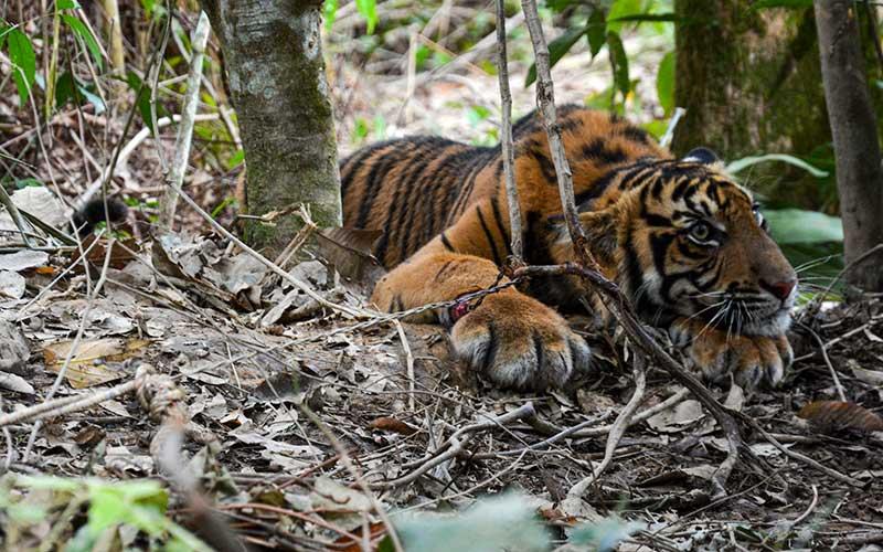 Seekor Anak Harimau Sumatra Terkena Jerat di Aceh