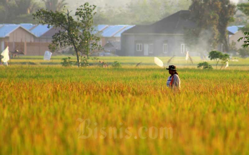 Produksi Beras Berkurang Akibat Kekeringan Yang Melanda Sejumlah Daerah di Sumatra Barat