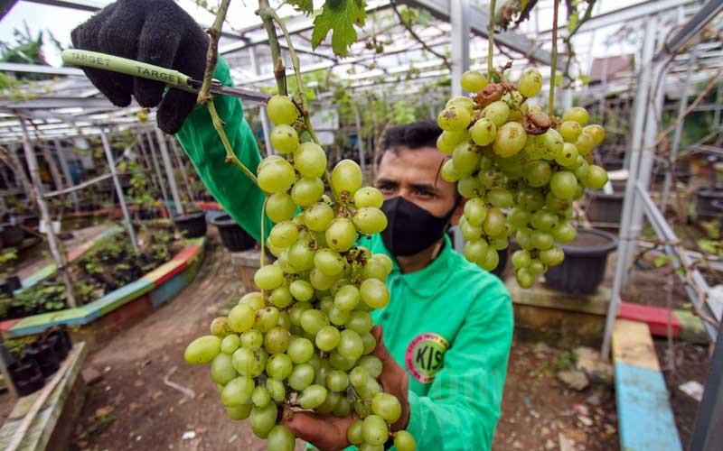 Grapes Community Membudidayakan 90 Jenis Anggur di Jakarta Timur