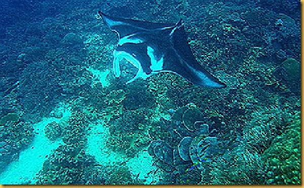 Dari aspek biologi ikan pari manta juga rawan mengalami ancaman kepunahan.  - bisnis.com