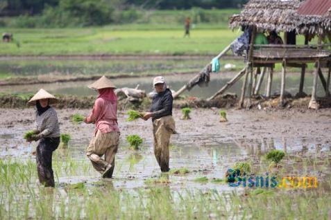 Selama musim hujan 2013/2014 ini areal pertanaman tanaman pangan menderita dampak terparah dengan luasan areal pertanaman yang rusak mencapai 236.846 ha.  - bisnis.com