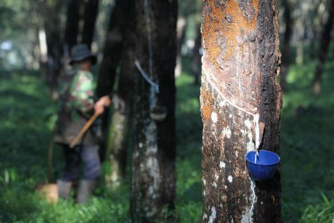 Kualitas karet yang buruk menyebabkan harga pasaran jatuh hingga Rp6.500 per kilogram dari harga Rp12.000 per kilogram.  - bisnis.com
