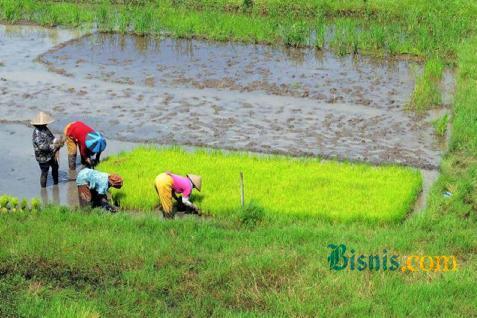 Petani sedang menanam padi - Bisnis.com