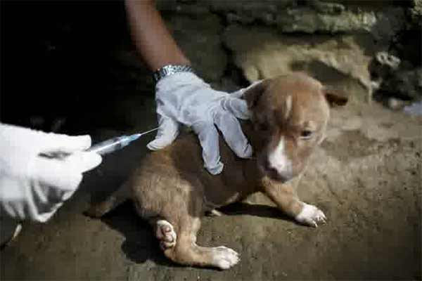 Sebanyak 31 ekor anjing ras jenis pomerian, siberian hunsky, mini pom dan lecy tanpa dilengkapi dokumen itu diamankan petugas karantina saat berusaha diselundupkan dari Jawa ke Bali menggunakan bus umum.  - indosurflife.jpg