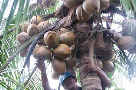 Tanaman kelapa - JIBI