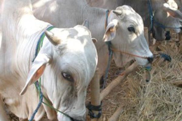 demi menghadang impor ternak dari luar, setiap rumpun sapi lokal di Indonesia perlu asosiasi.  - Antara