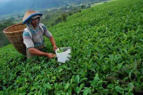 Petani selama ini hanya mengandalkan tanaman yang sudah tua.  - bisnis.com