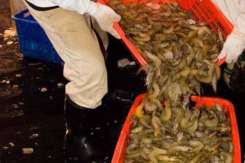 Larangan impor udang asal Indonesia pernah dilakukan Rusia oleh otoritas pengawasan produk perikanan Rusia (Rosselkhoznadzor) mulai 1 Juli 2013.  - Bisnis/Dedi Gunawan