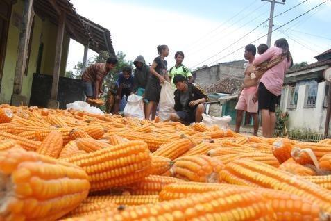 Kementan memperkirakan tahun ini produksi jagung mencapai 15,2 juta ton dengan kebutuhan konsumsi 6 juta - 9 juta ton.  - bisnis.com