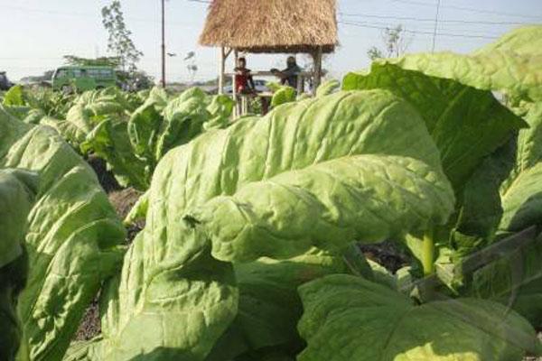 Pertanian tembakau. Aksesi ratifikasi tembakau ditolak - Antara