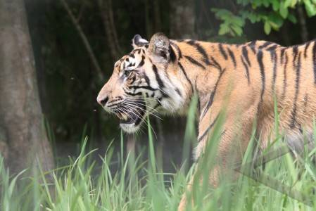 Harimau Sumatra  - ilustrasi