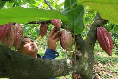 Panen kakao. Pemerintah pacu kelanjutan industri tersebut - Bisnis