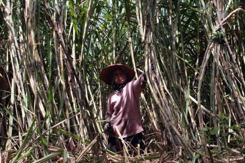 Ilustrasi: tebu untuk bioethanol - Bisnis.com