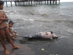 Tiga luka tusukan benda tumpul menewaskan ikan lumba-lumba ini. Mungkin lumba-lumba malang ini terjerat jala kemudian didorong keluar dengan paksaan. -