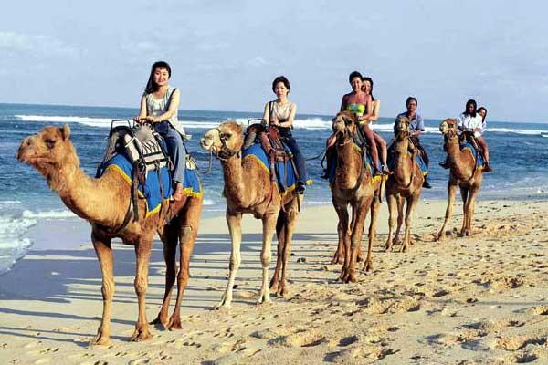 Usaha Wisata Safari Unta Tolak Pesanan Rombongan Raja Salman