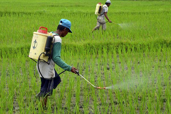 Petani menyemprotkan pupuk cair ke tanaman padi. - Antara/Ahmad Subaidi