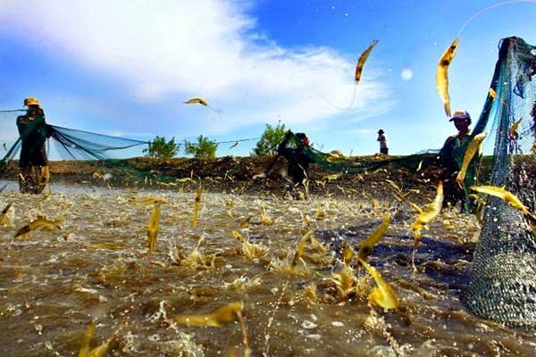 Pekerja memanen udang Vannamei di Tambak tradisional, Kab Barru, Makassar. - JIBI