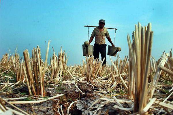 Petani melintasi sawah yang kering akibat musim kemarau - JIBI