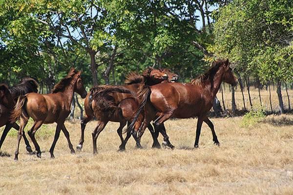 Kuda Sandalwood dari Pulau Sumba, NTT. - Istimewa